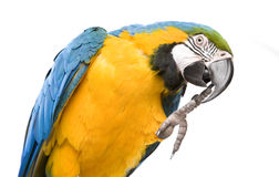 Bright ara parrot. Sitting bright blue and yellow macaw parrot Royalty Free Stock Photo