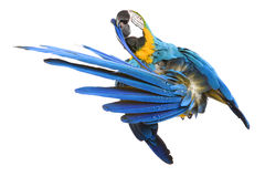 Bright ara parrot. Sitting bright blue and yellow macaw parrot Royalty Free Stock Image