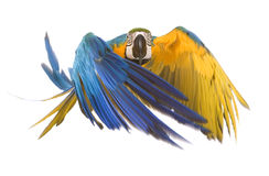 Bright ara parrot flying. Flying bright blue and yellow macaw parrot Stock Photography