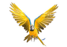 Bright ara parrot flying. Flying bright blue and yellow macaw parrot Royalty Free Stock Photography