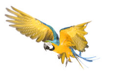 Bright ara parrot flying. Flying bright blue and yellow macaw parrot Royalty Free Stock Image