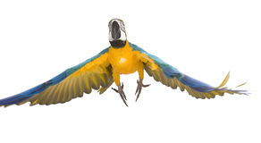 Bright ara parrot flying. Flying bright blue and yellow macaw parrot Royalty Free Stock Photo