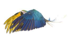 Bright ara parrot flying. Flying bright blue and yellow macaw parrot Stock Photos