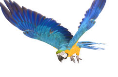 Bright ara parrot flying. Flying bright blue and yellow macaw parrot Stock Image