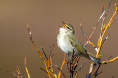 Bright Arctic Warbler royalty free stock photography