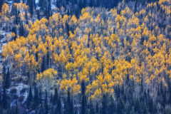 Bright Aspen Trees Stock Images