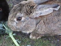Bright attractive brown bunny rabbit feeding on green veggies 2019. Bright attractive brown and grey cute bunny rabbit resting and being fed green veggie treat royalty free stock image