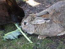 Bright attractive brown bunny rabbit feeding on green veggies 2019. Bright attractive brown and grey cute bunny rabbit resting and being fed green veggie treat royalty free stock photography