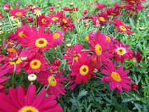 Bright attractive red and yellow springtime Argyranthemum flowers close up 2019. Bright attractive colorful red-yellow springtime Argyranthemum flowers close up stock photo