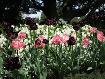 Bright lovely pink and purple tulip flowers in spring, Canada, May 2018. Bright attractive pink and purple tulip flowers in bloom, Vancouver, Canada, Spring 2018 stock photo