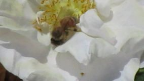 Bright attractive white flower blooming in summer with a bee pollinating close up. Bright attractive white flower blooming in early summer and a bee pollinating stock video footage