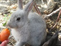 Bright attractive white young bunny rabbit fed a carrot. Bright attractive white and grey cute young bunny rabbit resting and being fed a carrot treat, British royalty free stock photos
