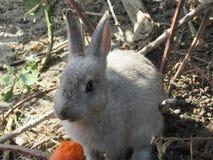 Bright attractive white young bunny rabbit fed a carrot. Bright attractive white and grey cute young bunny rabbit resting and being fed a carrot treat, British stock photo
