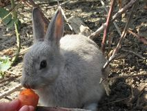Bright attractive white young bunny rabbit fed a carrot. Bright attractive white and grey cute young bunny rabbit resting and being fed a carrot treat, British royalty free stock photography
