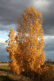 Bright autumn birch. Royalty Free Stock Images