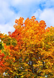Bright autumn branches of maple tree Stock Photo