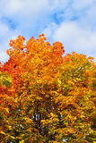 Bright autumn branches of maple tree Royalty Free Stock Photography