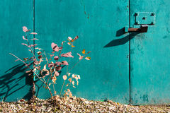 Bright autumn bush.Turquoise texture of peeling paint. Iron gate, lock and bolts. Stock Photo