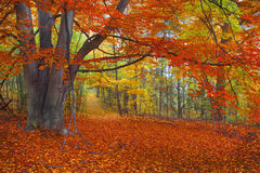 Bright Autumn Colors, Path in the Woods. Ground covered in Bright Autumn leaves on Path in the Woods royalty free stock images