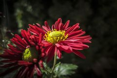 Bright autumn colors in red flowers Chrysanthemum coreanum. Two flowers with a yellow center on a black background garden. Sunny a stock images