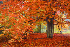 Bright Autumn Colors, Tree in the woods. Bright Autumn Colors on ground as well as Tree in the woods royalty free stock image