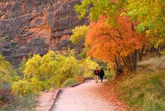 Bright autumn colors in Zion Canyon. A walk along trail in Zion National Park under colorful autumn trees Stock Photography