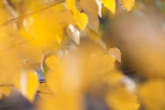 Bright autumn foliage. Close-up of a bright yellow autumn foliage Royalty Free Stock Image