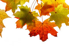 Bright autumn foliage of maple Stock Photography