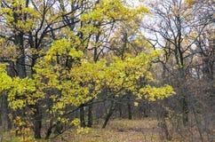 Bright Autumn Foliage of the Oak. Autumn Forest Stock Photo