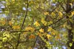 Bright autumn foliage. Bright autumn foliage on trees. Bright autumn foliage on trees royalty free stock photo
