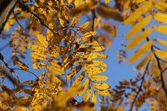 Bright autumn foliage. Bright autumn foliage on trees. Bright aun foliage. Bright aun foliage on trees royalty free stock image