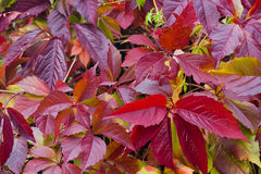 Bright autumn foliage of vine Royalty Free Stock Images