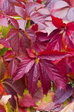 Bright autumn foliage of vine Royalty Free Stock Photo