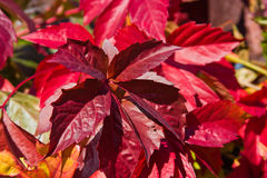 Bright autumn foliage of vine Stock Image