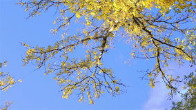 Bright  autumn  forest stock video footage