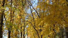 Bright  autumn  forest stock footage