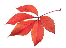 Free Bright Autumn Leaf, Isolated On White Stock Photography - 46216872