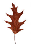 Bright autumn leaf. Isolated on white background royalty free stock images