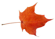 Bright autumn leaf on a white background. Royalty Free Stock Photo