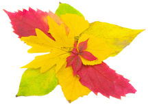 Bright autumn leaves. Beautiful autumn leaves isolated on a white background Stock Photos