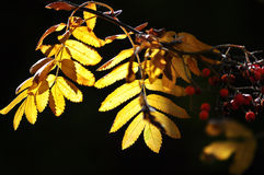 Bright autumn leaves. Stock Images