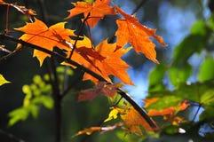 Bright autumn leaves. Stock Photo