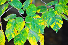 Bright autumn leaves. Royalty Free Stock Photography