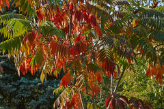 Bright autumn leaves on the  acacia. Royalty Free Stock Photography