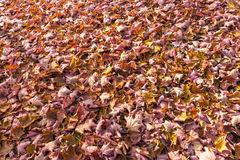 Bright autumn leaves that are covered with frost Stock Photography