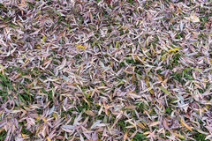 Bright autumn leaves that are covered with frost Stock Images
