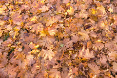 Bright autumn leaves that are covered with frost Royalty Free Stock Images