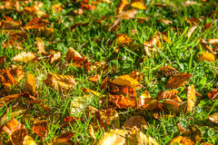 Bright autumn leaves on the grass. Colorful autumn background with yellow and orange leaves at sunset Royalty Free Stock Photography