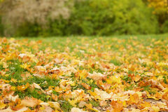Bright autumn leaves on the ground. Low level photo Stock Images