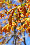 Bright autumn leaves horse chestnut tree Royalty Free Stock Photography